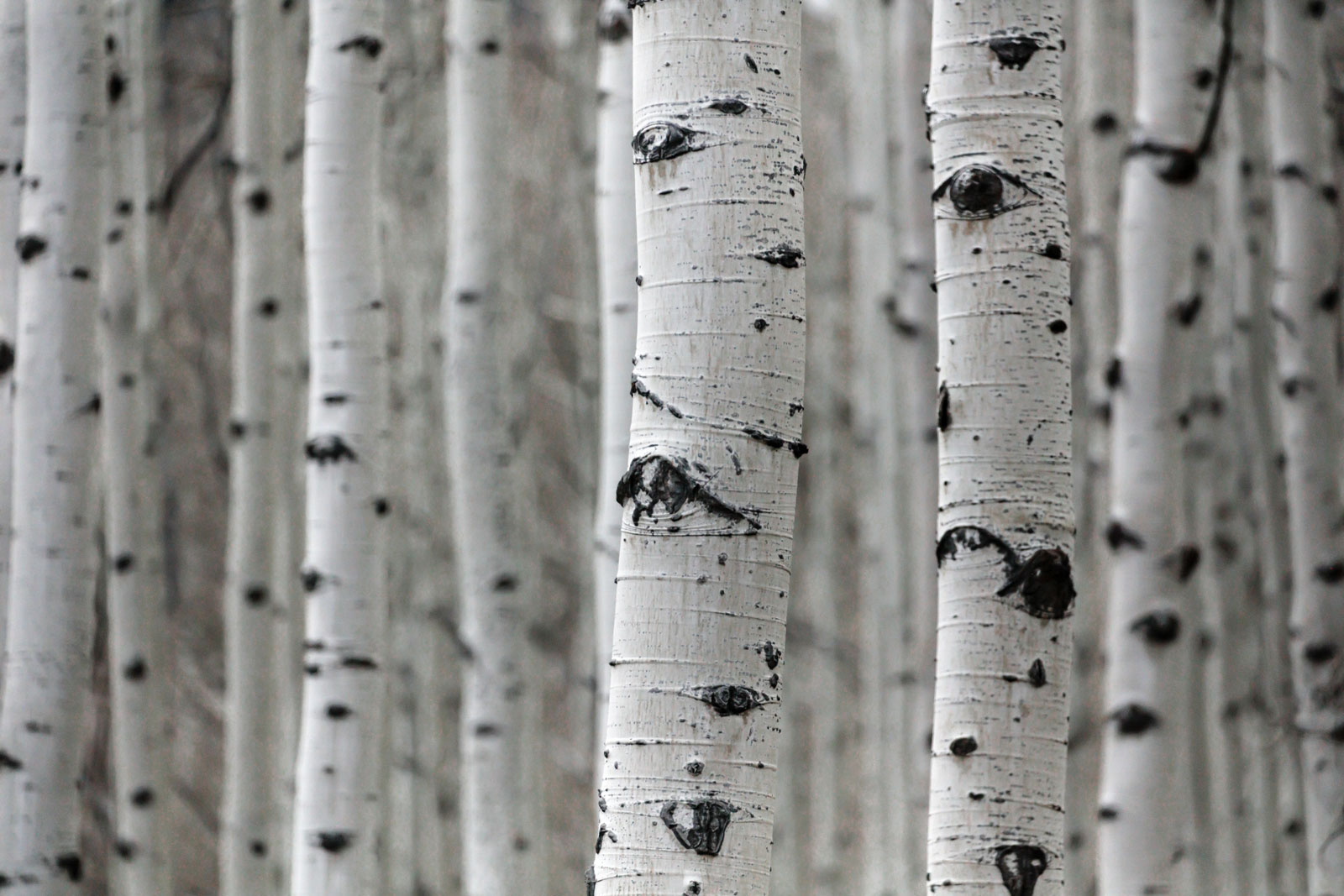 Birch Trees photo by Patrick Hendry
